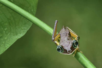Poster featuring the photograph Lemur Tree Frog - 1 by Nikolyn McDonald