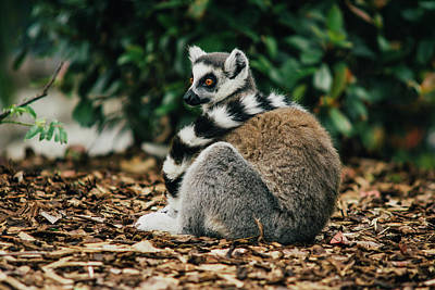 Lemur With Fancy Tail Scarf Poster by Pati Photography