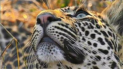 Leopard Aloft Poster