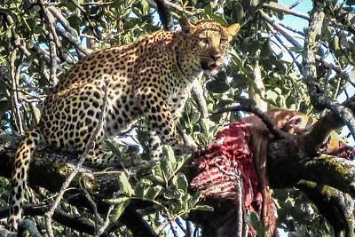 Leopard Eating Impala In A Tree Poster by Gregory Daley  PPSA