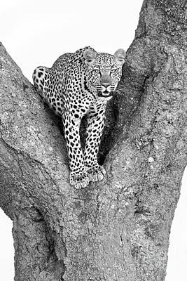 Leopard In A Tree Poster by Richard Garvey-Williams