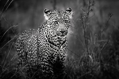 Leopard Male Looking For Food In Masai Mara Poster by Maggy Meyer