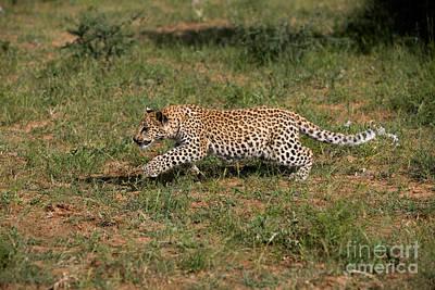 Leopard Panthera Pardus Cub Poster by Gerard Lacz