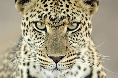 Leopard Panthera Pardus Female Poster by Martin Van Lokven