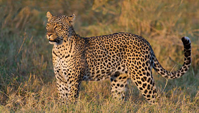 Leopard Panthera Pardus Standing Poster by Panoramic Images