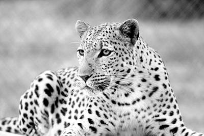 Poster featuring the photograph Leopard by Riana Van Staden