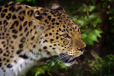 Poster featuring the photograph Leopard by Steve Stuller