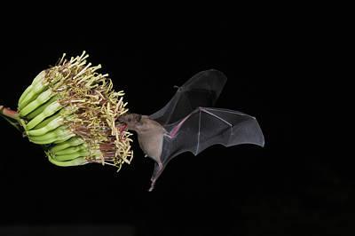 Lesser Long-nosed Bat Leptonycteris Poster