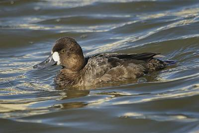 Poster featuring the photograph Lesser Scaup Hen by Bradford Martin