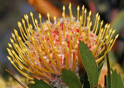Leucospermum Muirii Poster