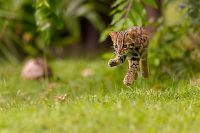 Levitating Leopard Cat Poster by Ashley Vincent