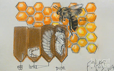 Life Cycle Of A Bee  Poster