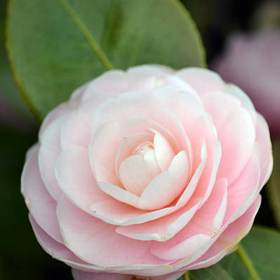 Light Pink Camellia Flower Poster