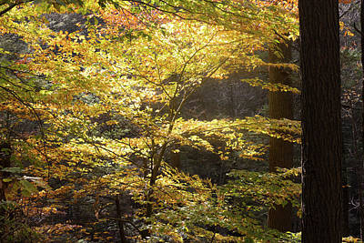 Poster featuring the photograph Light In The Leaves by Kirkodd Photography Of New England