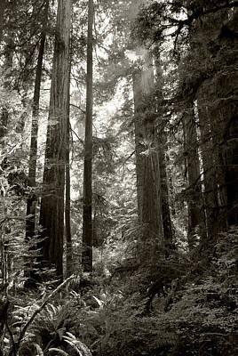 Light Through Redwoods Poster by Kathleen Grace