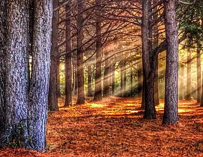 Light Thru The Trees Poster by Sumoflam Photography