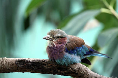 Lilac Breasted Roller Poster by Karol Livote