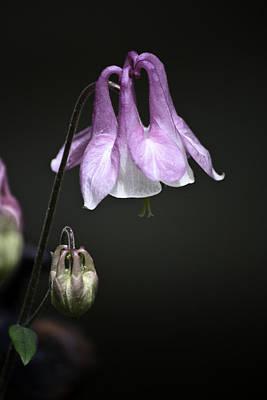 Lilac Columbine 2 Poster by Teresa Mucha