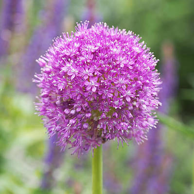 Lilac-pink Allium Poster by Rona Black