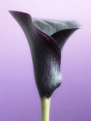 Lilac Purple Calla Flower Poster by Artecco Fine Art Photography