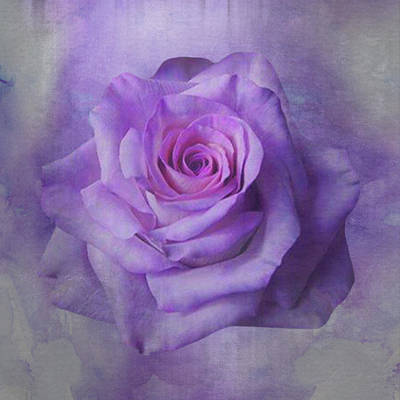 Lilac Purple Rose Poster