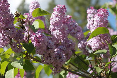 Poster featuring the photograph Lilacs 5548 by Antonio Romero