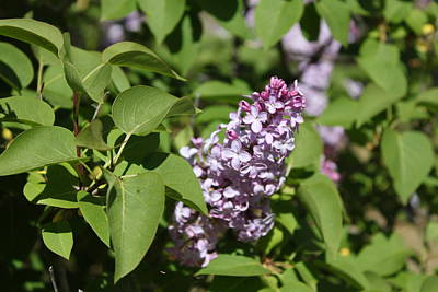 Poster featuring the photograph Lilacs 5551 by Antonio Romero