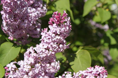 Poster featuring the photograph Lilacs 5552 by Antonio Romero