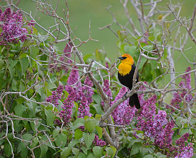Lilacs And Yellowhead Blackbirds Poster