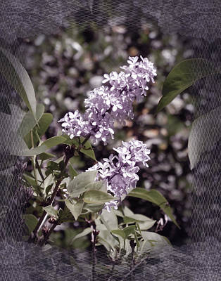 Lilacs In Lace Poster by Laura Iverson