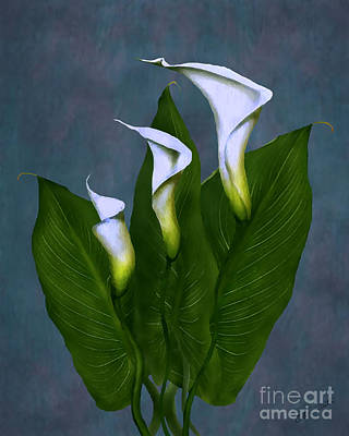 Poster featuring the painting White Calla Lilies by Peter Piatt