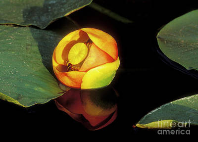 Poster featuring the photograph Lily Reflection by Sandra Bronstein