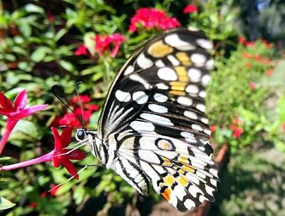 Lime Butterfly Papilio Demoleus Poster by SHWETA Sambyal