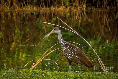 Limpkin At Water's Edge Poster by Tom Claud