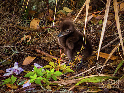 Limpkin Chick Poster