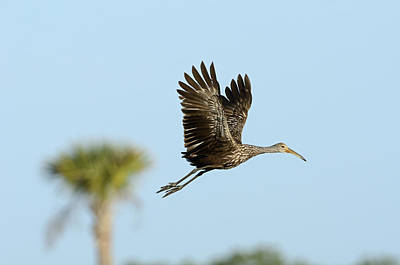 Limpkin Poster by David Tipling