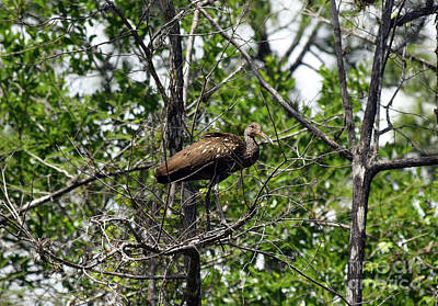 Limpkin In A Tree Poster