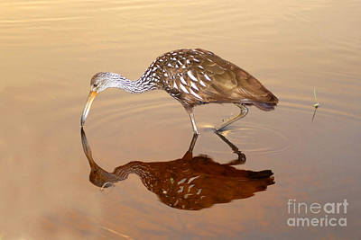 Limpkin In The Mirror Poster by David Lee Thompson
