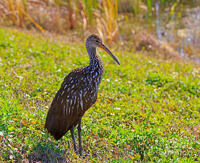 Limpkin Poster by Louise Heusinkveld