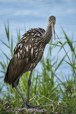Limpkin On The Shore  Poster by Saija  Lehtonen
