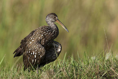 Limpkin Stretching In The Grass Poster