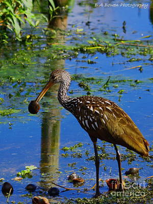 Limpkin With An Apple Snail Poster