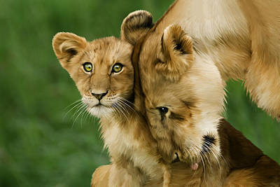 Lion Cub With Mother Poster by Julie L Hoddinott
