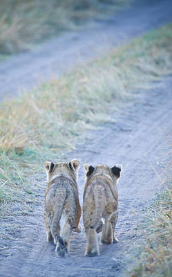 Lion Cubs Walking Together In Masai Mara Poster by Mehmed Zelkovic