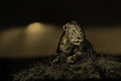 Lion Earless At Sunset In Masai Mara, Kenya Poster by Maggy Meyer