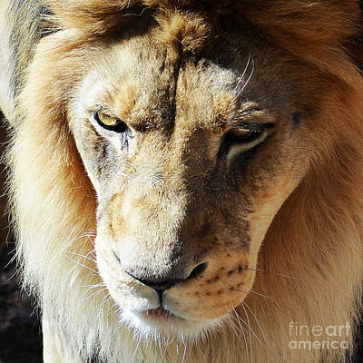 Lion Head Face Eyes Mane Front View Macro Close Up Poster
