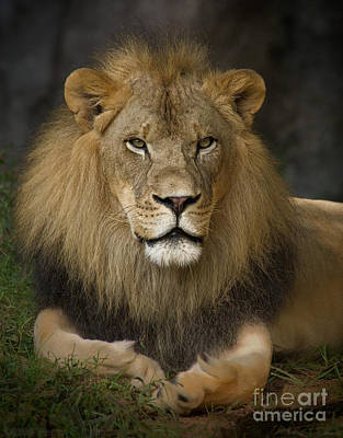 Lion In Repose Poster by Warren Sarle