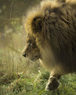Lion In Soft Light Poster