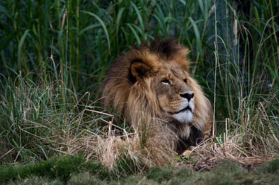 Lion In The Grass Poster