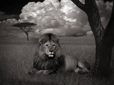Lion In The Grass Poster by Kathie Miller
